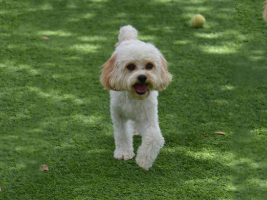 Artificial Grass Photos: Artificial Turf Cost Napanoch, New York,  Dog Kennels